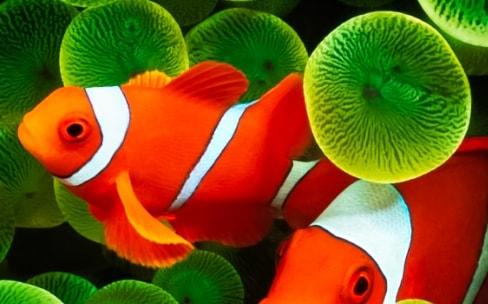 005cf15ecb Le fond d'écran poisson clown optimisé pour l'iPhone X | iGeneration